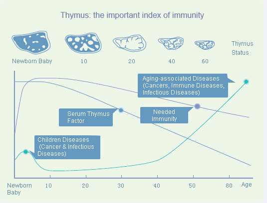 Thymus: the important index of immunity